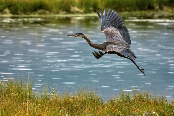 a blue heron taking flight from a wetland area