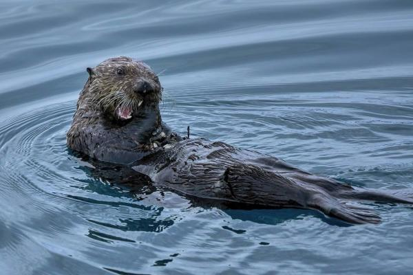 a sea otter eating shellfish off of its belly