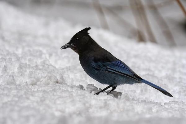 a Stellar's Jay in snow