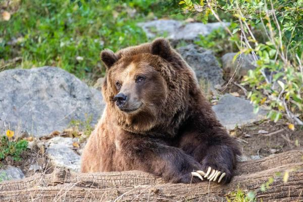 Mallory the Grizzly Bear at Sedgwick County Zoo