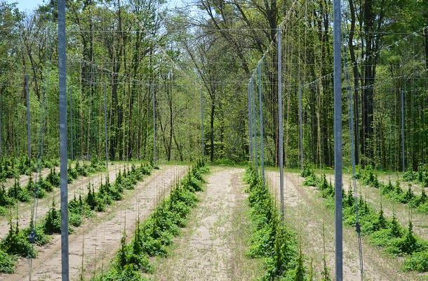 Hops growing at Ramblin Road