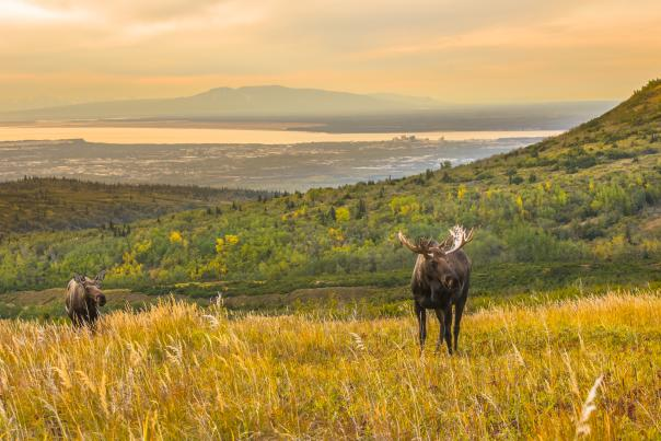 A bull moose and cow on a fall day at Powerline Pass with the city of Anchorage in the background.