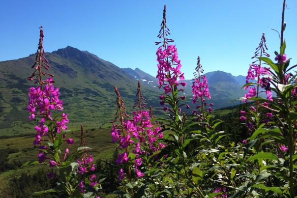 Fireweed blooming in the mountain range