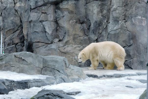 A polar bear at the Alaska Zoo