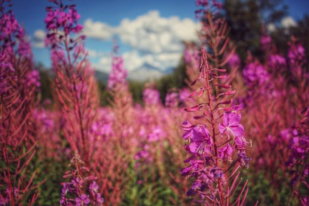 Fireweed flowers and mountains near Anchorage
