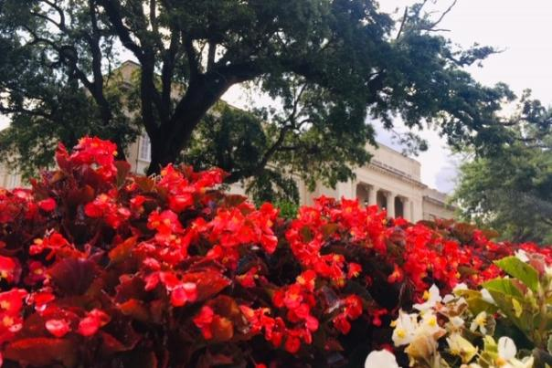 Red flowers in bloom in front of a tree and a white building