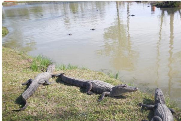 Biking with alligators