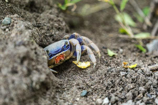 A blue crab peeks out from behind a rock to grab a snack near Beaumont, TX.