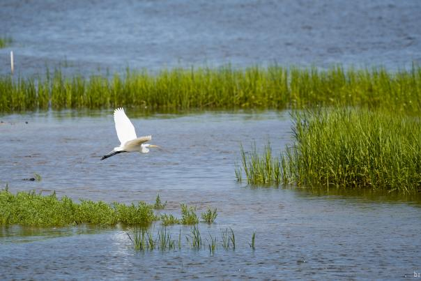 Bird_White Egret_watermark