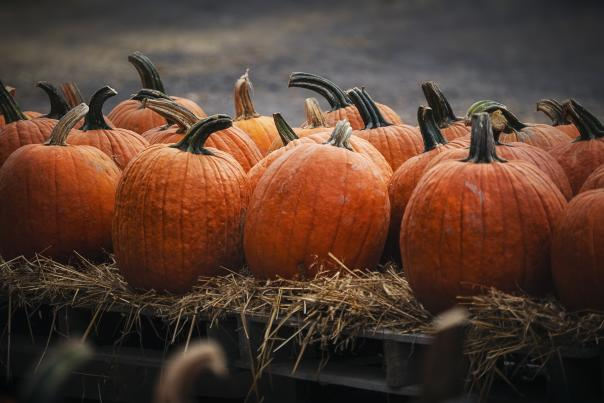 Pumpkins at Styer Orchard