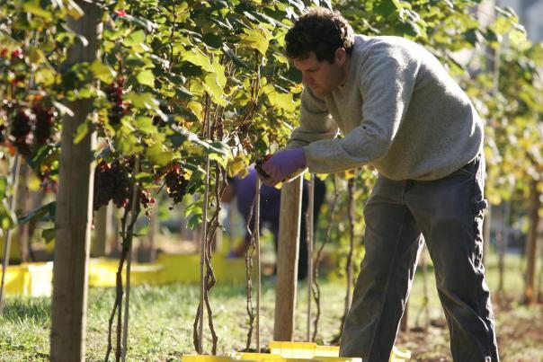 Harvesting grapes at Crossing Vineyards