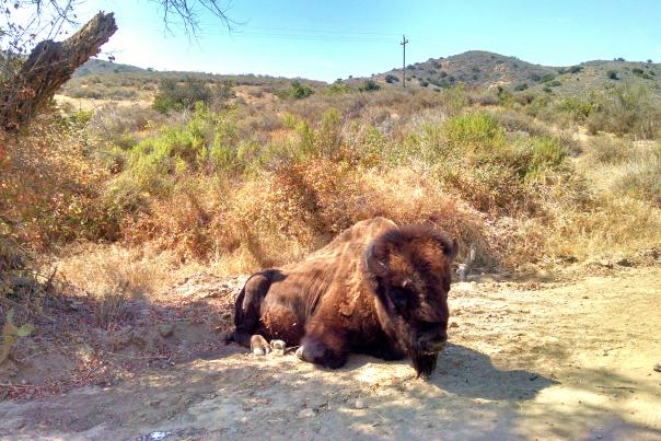 Catalina Island Bison