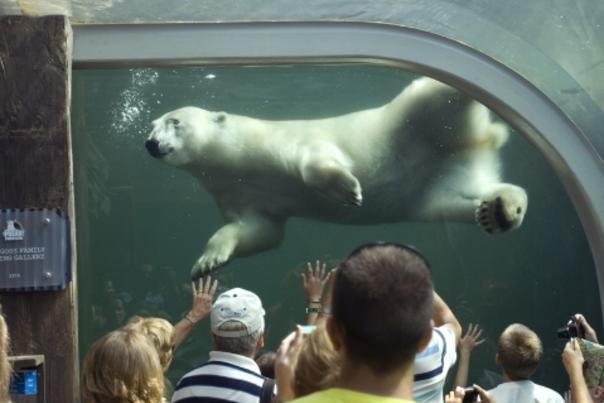 Polar Bear - Zoo