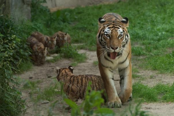 mara with tiger cubs