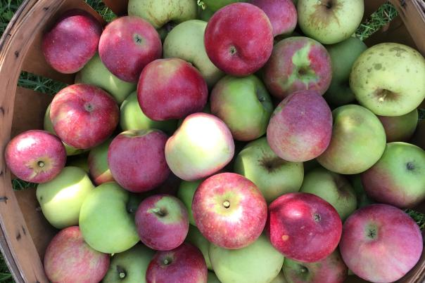 Fresh-picked green and red apples in basket