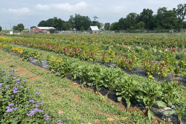 Paulus Farm Market UPick Flower Field