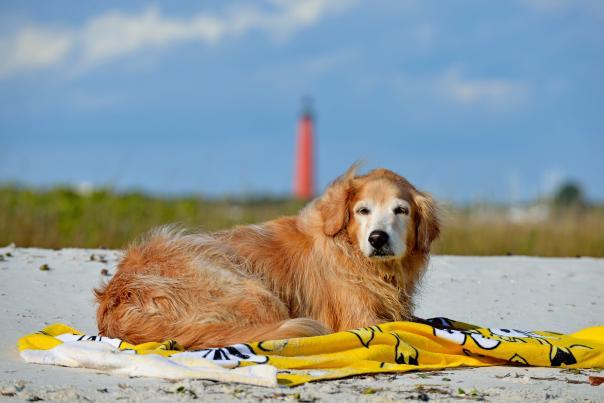 A Golden Retriever enjoys the dog friendly beach at Lighthouse Point Park.