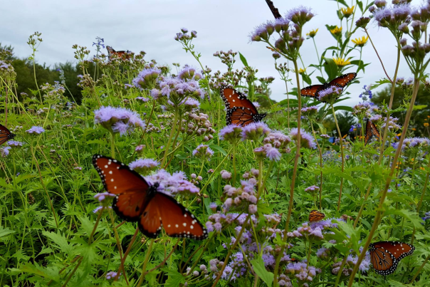 Butterflies among the wildflowers near Clear Creek