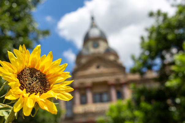 A yellow sunflower in focus in front of the Courthouse on the Square