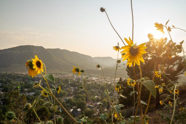 Sunflowers on the Rim Trail Near Fort Lewis College in Durango, CO