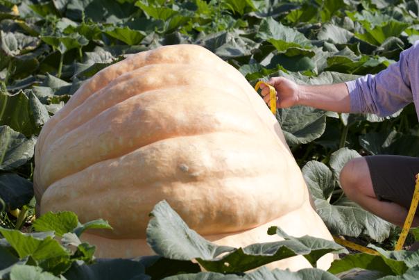 Measuring Giant Pumpkin