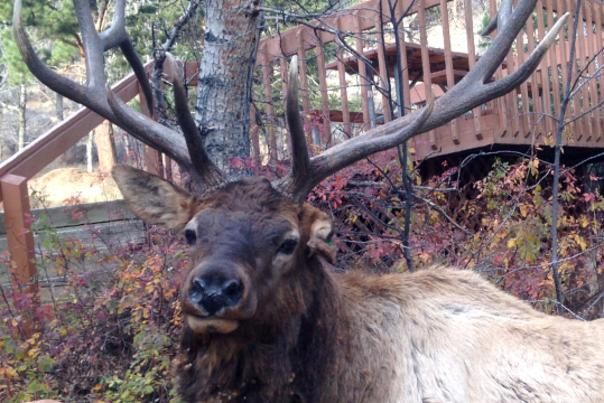 Brat Elk - McGregor Mountain Lodge