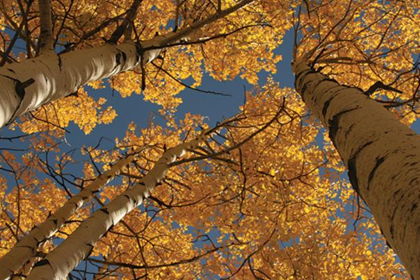 Fall-Foliage_Aspen-Trees-Sky