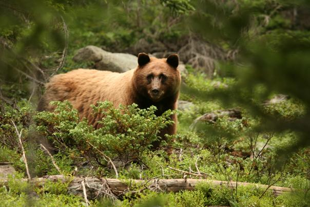 Black Bears Call Estes Park Home