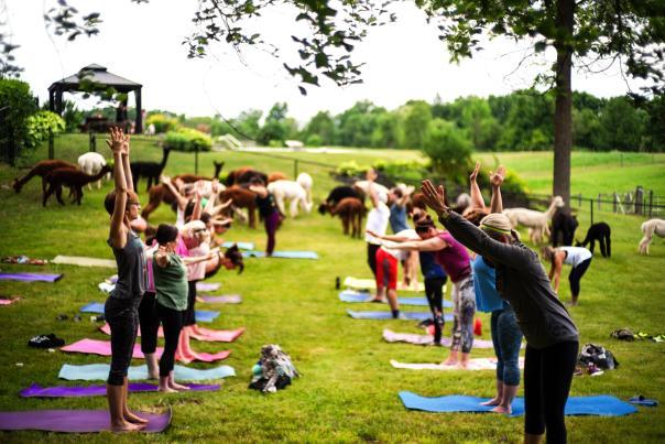 Alpaca Yoga at Lazy Acre Alpacas