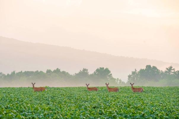 Deer in a misty field with hills in background