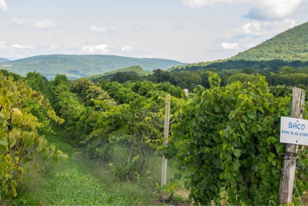 Jerome's U-Pick Vineyards in Naples, NY