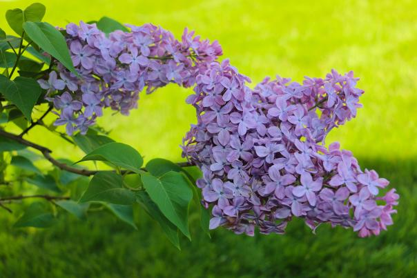 Lilacs at 25 Gorham Street