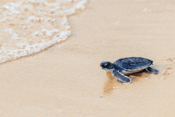 turtle nesting season