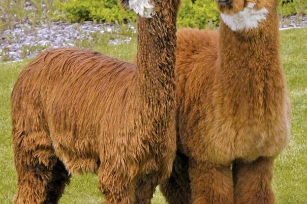 Alpaca Cover Photo