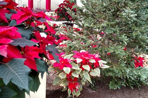 Poinsettias and Pine at the Botanical Conservatory