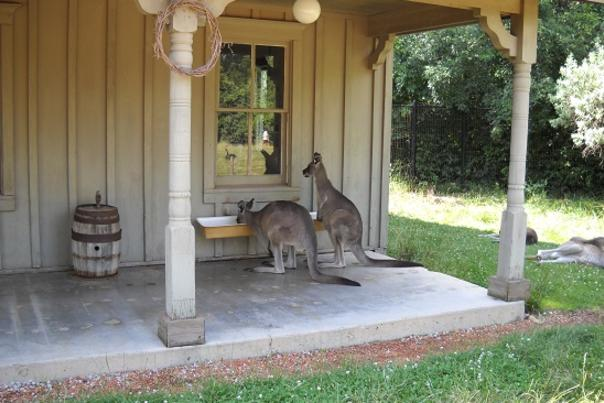 Curious Wallabies