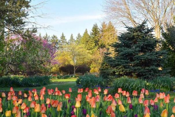 Tulips in Foster Park in bloom