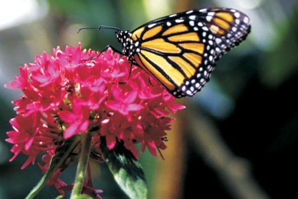 butterfly1-359