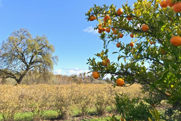 Orange tree amongst nature at SJRPT