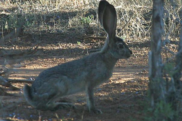 Jack-Rabbit2