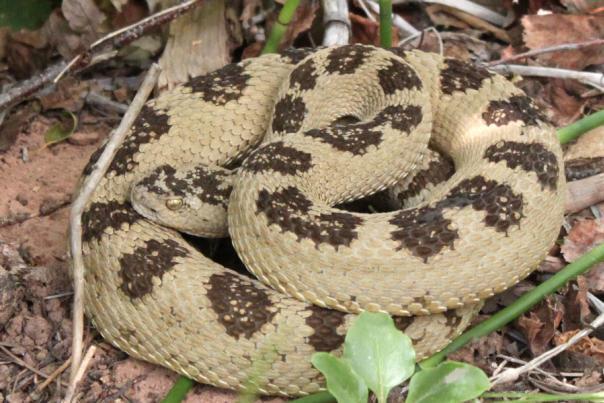 Rattlesnake-Green-8502