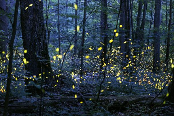 Synchronous_Fireflies_Elkmont_Photo-Credit-Radim-Schreiber-1024x677
