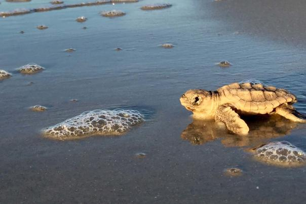 A newly hatched sea turtle journeys to the ocean on Sea Island, GA