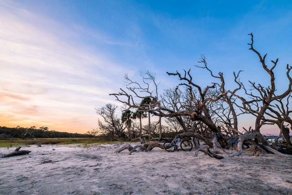 The weathered trees beckon to all who visit Driftwood Beach on Jekyll Island, GA