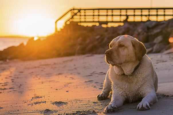 A Yellow Lab relaxes on a Golden Isles beach at sunset.