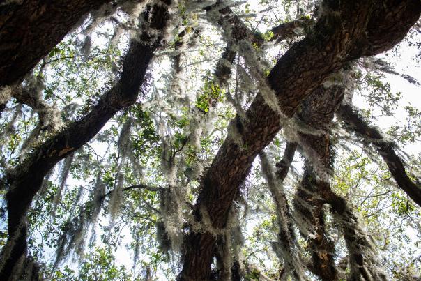 Upward view of a mossy oak tree.