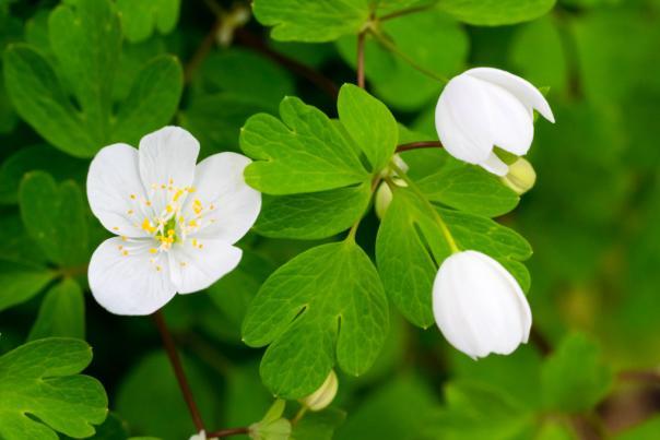 Enemion-biternatum-false-rue-anemone-flower-white-1024x681