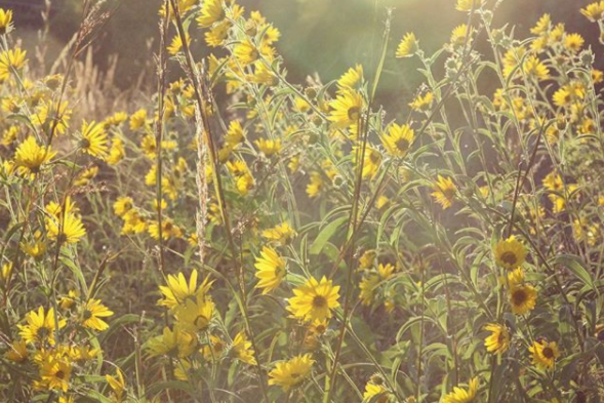 Wild Sunflowers in the sunlight in Kansas