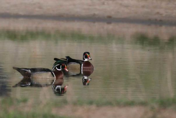 Kansas Kritter- Wood Duck