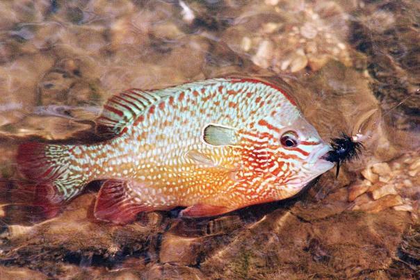 Kansas Kritter- Longear Sunfish